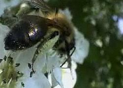 "Bees ""restored to health"" in Italy after this spring's neonicotinoid-free maize sowing"