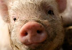 Agriculture: All Smart Pigs case study
