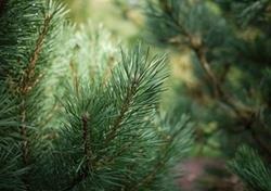 Towards genetically-improved conifers